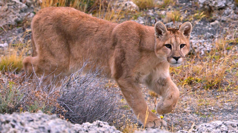 Tötet sehr selten Menschen: ein Berglöwe, auch Puma genannt. Hier ein Exemplar im südamerikanischen Chile.