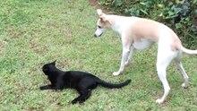 Eine schwarze Katze liegt entspannt auf dem Rasen, eine weiß-blond gefleckte Windhündin steht über ihr und will spielen