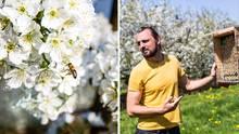 Tom Strobl, Unternehmer und Biologe aus Zürich, auf einer Obstplantage am Bodensee. Die Kirschen blühen. Die Bestäubung muss schnell und sicher sein, denn schon nach zwei Wochen sind die Kirschen verblüht.