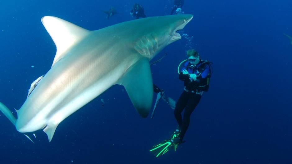 """""""Angstzination"""": Hai Alert: Ein Tauchgang mit dem Räuber der Meere"""