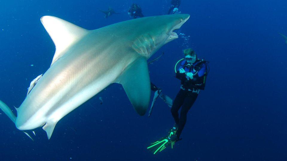 Haiwasser: Ohne Käfig, ohne Kettenhemd: Auf Tuchfühlung mit Haien vor Südafrika