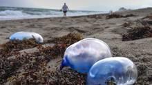 Portugiesischen Galeere (Physalia physalis) sind Kolonien aus Hunderten Einzelindividuen, eigentlich in den tropischen Meeren heimisch sind und zu den giftigsten Tieren der Meerezählen.