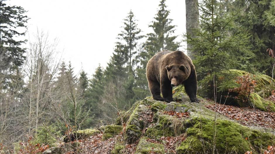 Normalerweise greifen Braunbären den Menschen nicht an. Er gehört nicht in ihr Beuteschema. Außerdem sind sie scheu.