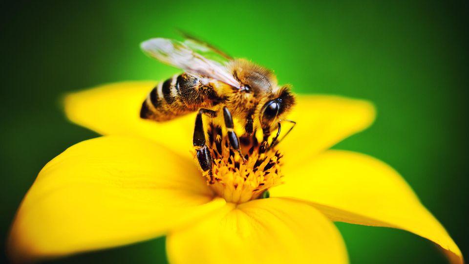 Eine Biene sitzt auf einer Blüte