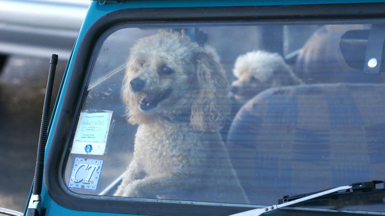 Ein junger Hund, der in einem Auto eingeschlossen wurde