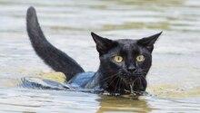 Eine schwarze Katze paddelt mit erhobenem Kopf durchs Wasser