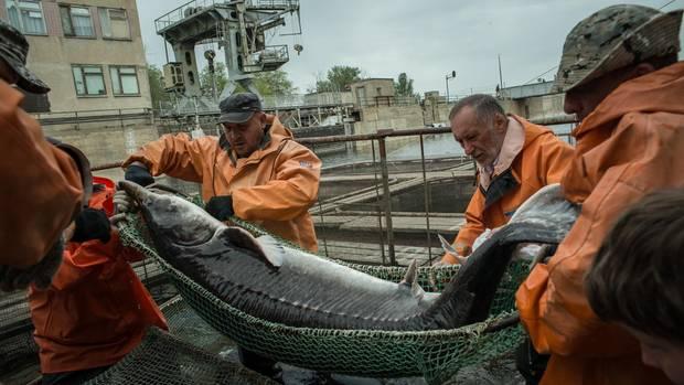 """Da der Stör- und Belugafang offiziell untersagt sind, werden die Fische in Fabriken entlang der Ausläufe der Wolga gezüchtet. Hier wird ein Beluga aus einem Becken der Firma """"Raskat"""" gehievt."""