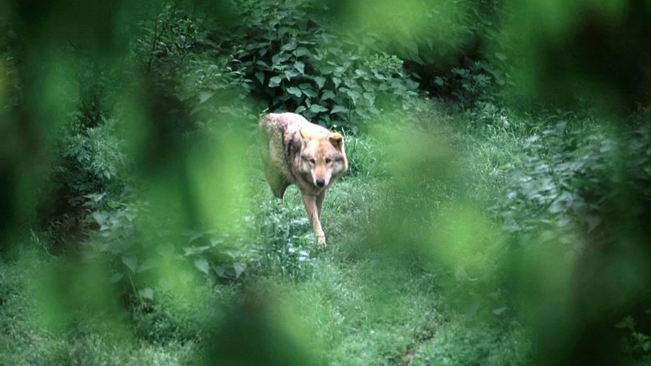 """Wolfsähnliche """"Kreatur von Montana"""" (Symbolbild)"""