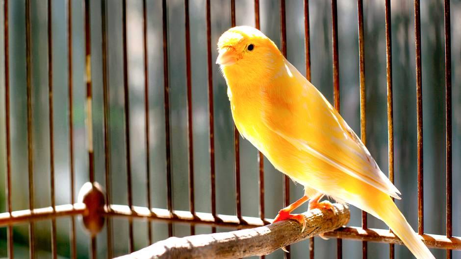 Ein gelber Kanarienvogel