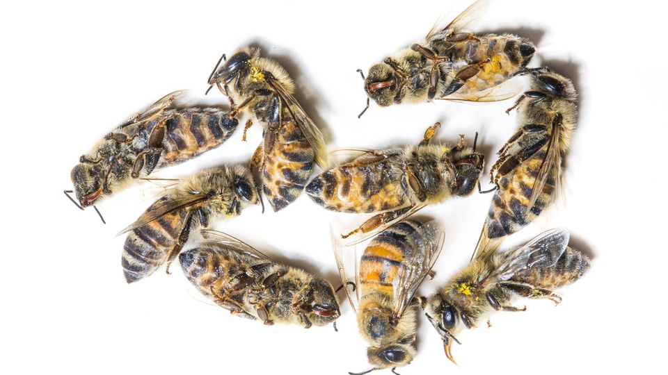 Leichenschau an Honigbienen im Labor. Meist sterben sie an Parasiten oder an Pestiziden