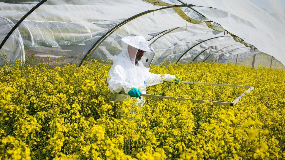 Im Versuchszelt von Bayer zählt Chef-Imker Volkmar Krieg, wie viele Bienen gerade Pollen im Raps sammeln