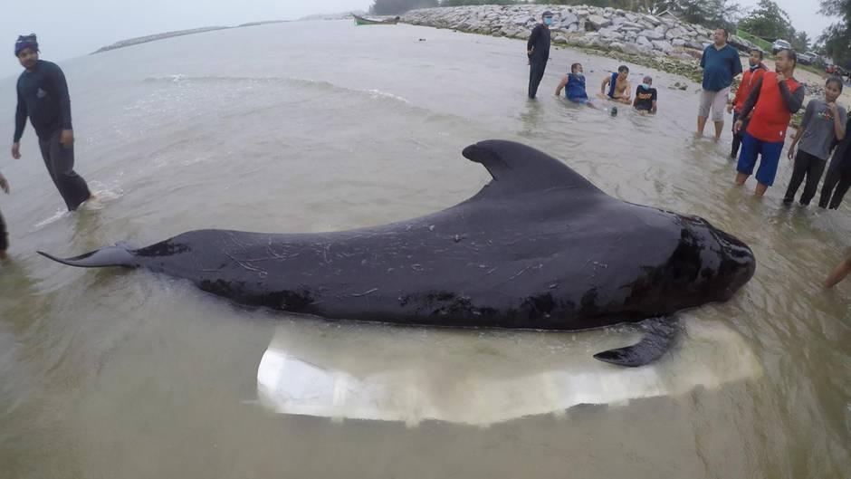 Thailand: Wal verendete an über 80 Plastiksackerln im Magen