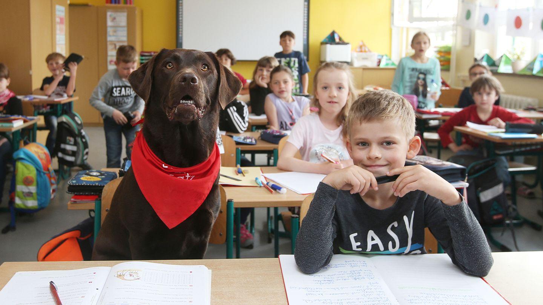 Ein brauner Labrador in einem Klassenzimmer