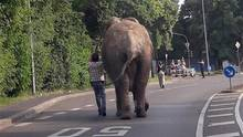 Ein Elefant ging in Neuwied auf einen Spaziergang