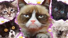 Grumpy Cat und andere lustige Katzen zeigen Mimik.