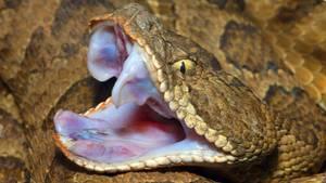 Eine Klapperschlange liegt mit weit aufgerissenem Maul auf dem Boden