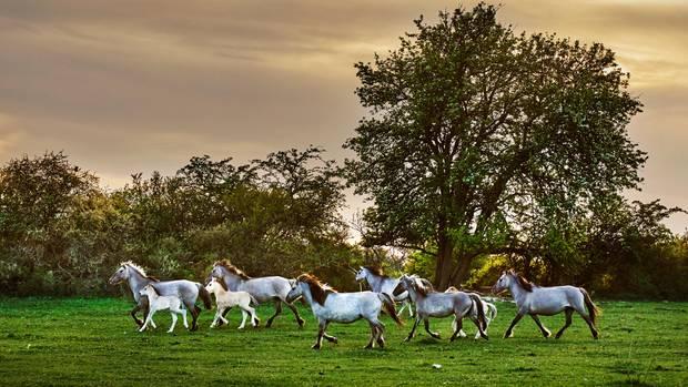 Wilde Pferde gibt es auch in der Thüringeti. Für die Fohlen ist sie die schönste Kinderstube