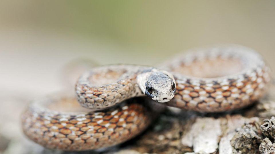 Die Gewöhnliche Braunschlange (Pseudonaja textilis) ist eine der giftigsten Schlangen der Welt.