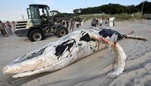 Acht Meter langerBuckelwal