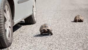 Zwei Schildkröten auf der Straße vor einem Auto