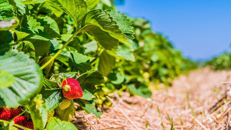 Die Sträucher auf den Erdbeerfeldern hängen voll - trotzdem vergammeln sie massenweise
