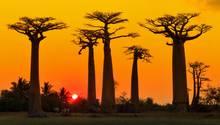 Afrikanische Baobab-Bäume vor einem Sonnenuntergang