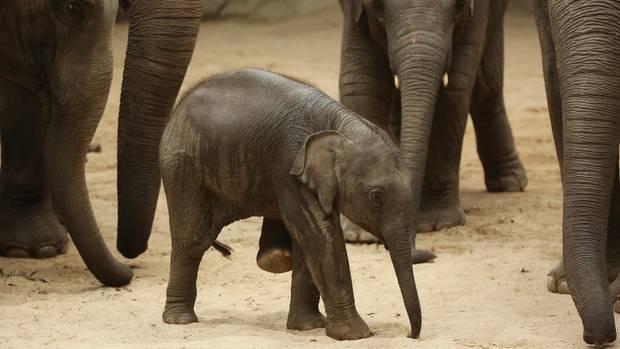 Das Elefantenmädchen Anjuli im September 2015 zwei Monate nach seiner Geburt. Am Mittwochnachmittag starb derdreijährige Dickhäuterim Tierpark Hagenbeck.