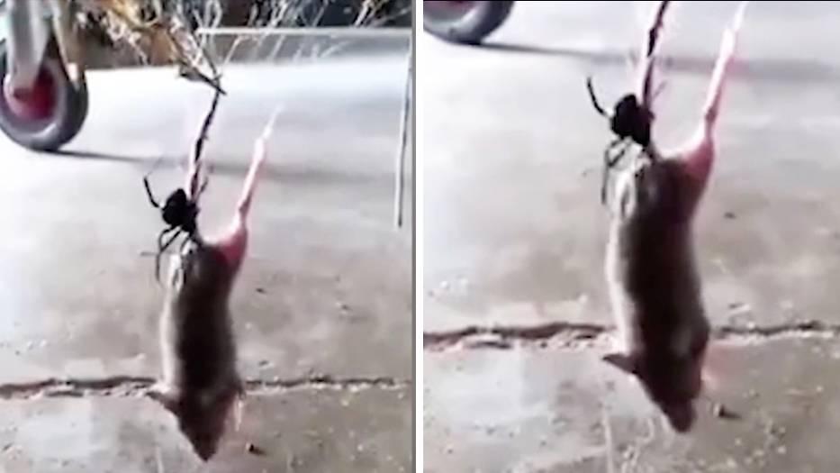 Schwarze Witwe versus Maus