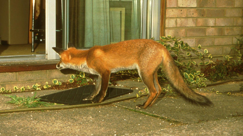 London Fuchs Schleicht Sich In Wohnung Und Attackiert Frau Im Schlaf Stern De