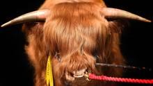Ingliston, Schottland.Ein Highland-Bulle wird bei der Royal Highland Show in Szene gesetzt. Die Show ist die größte Landwirtschaftsausstellung in Schottland und der Höhepunkt des Landwirtschaftskalenders.