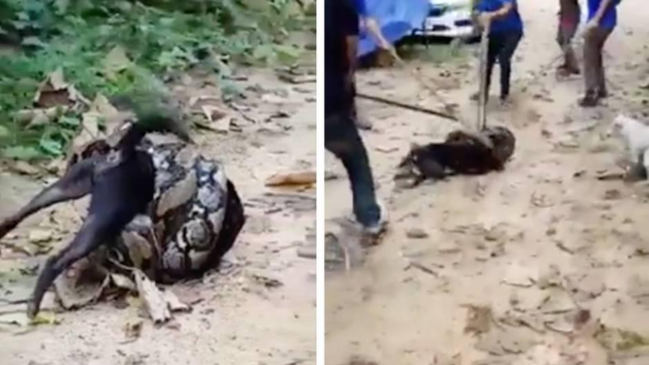 Thailand: Python nimmt Hund in Würgegriff – Rettung gelingt in letzter Sekunde