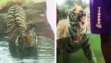 Mike der Tiger wagt einen Jagdversuch