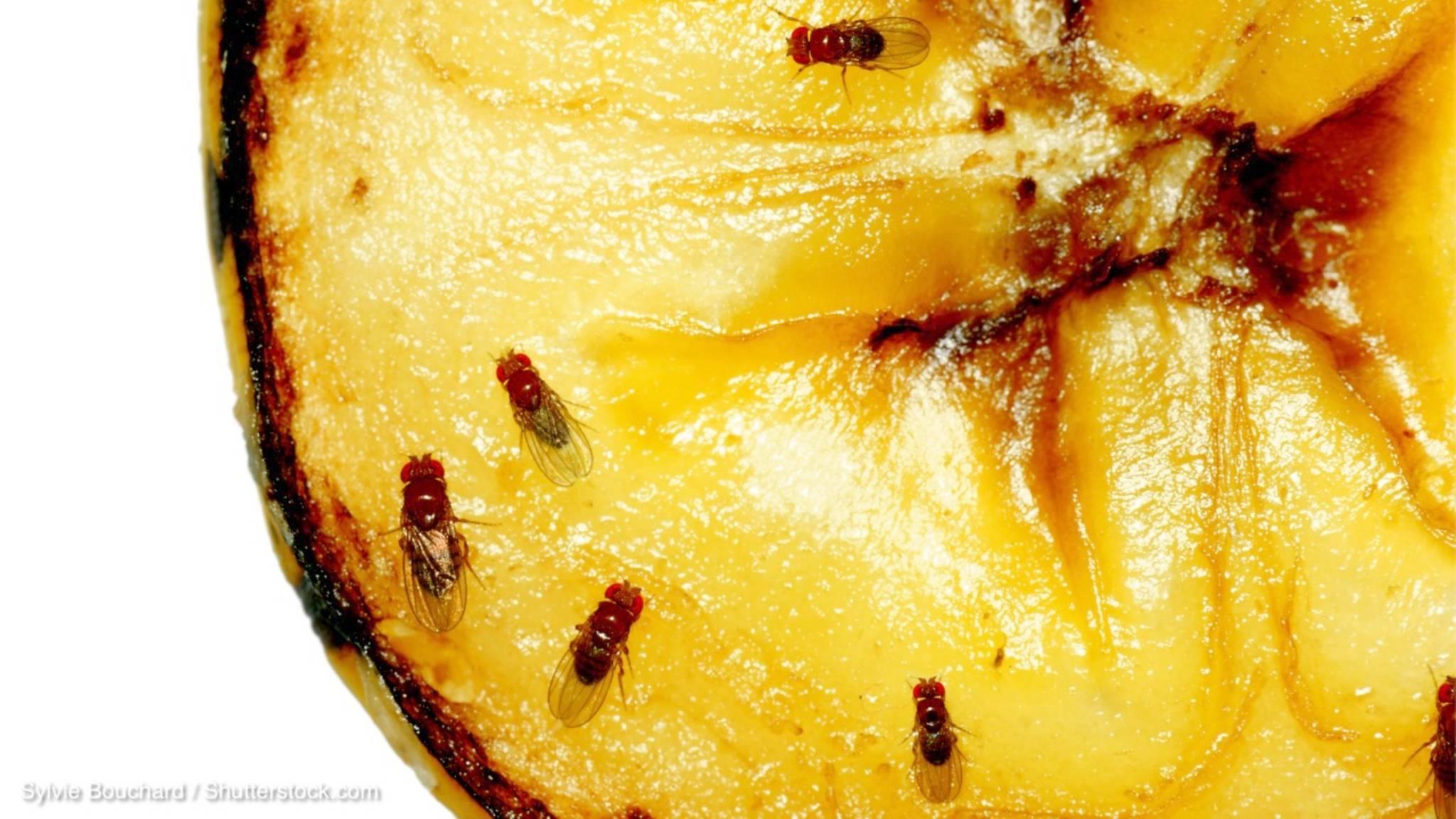 wie bekomme ich fruchtfliegen weg