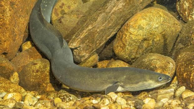 Für Aale sind die Kokainrückstände in Flüssen ein Problem