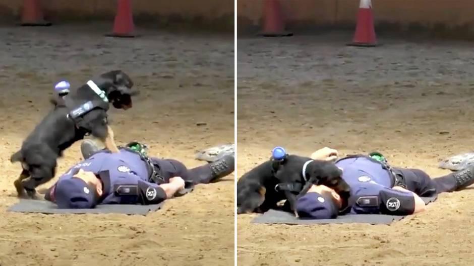 """Viralhit: Hund Poncho """"rettet"""" Polizisten mit Herzdruckmassage"""