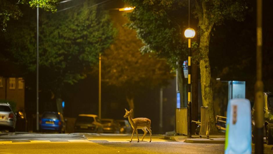 Dieser junge Hirsch lebt in Nord London und ist nur nachts aktiv.