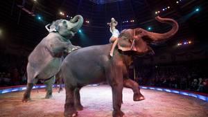 Zwei Elefanten und eine Artistin in der Manege des Zirkus Krone