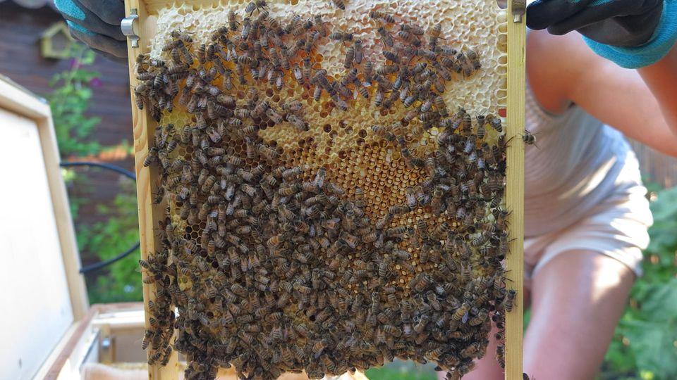 """Vereinewie """"Stadtbienen.org"""" stellen Wissen in Seminaren und sogenannte Bienenboxen zur Verfügung. Bereits nach wenigen Wochen haben die Bienen Waben gebaut und sie mit Honig gefüllt. In den leeren Waben wuchsen neue Bienen heran. Ein Bienenvolk kostet rund 150 Euro,die Box rund 250 Euro. Hinzukommen noch der Imkeranzug unddie """"Rauchmaschine"""" sowie kleinere Werkzeuge. Keine Sorge: Bienen stören einen nicht beim Essen, selbst wenn die Bienenbox nur wenige Meter vom Tisch entfernt steht."""