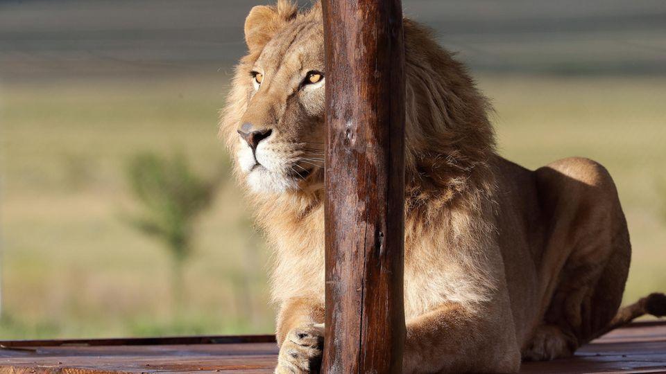 Ein Löwesitzt in einem Tierschutzgebiet in Südafrika