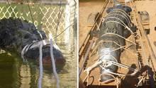 Ein gefangenes Riesenkrokodil liegt mit verbundener Schnauze in einem Käfig