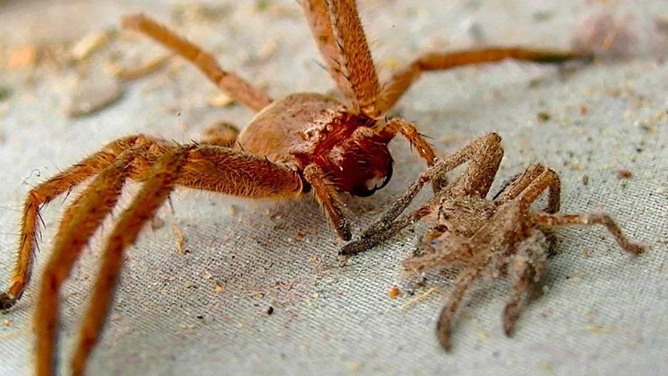 Klein aber tödlich: Das sind die fünf giftigsten Spinnen der Welt
