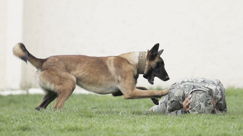 Belgische Schäferhunde sind bei Armee-Einheiten sehr beliebt. Die Tiere lassen sich gut abrichten und gelten als zuverlässig.