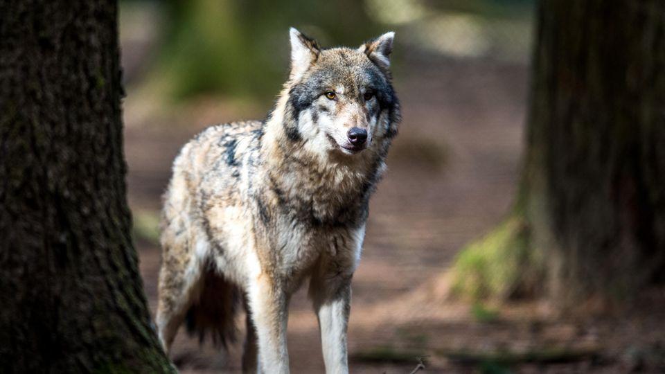 Wolf in bayerischem Wildpark
