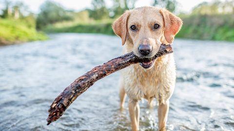 Ein Labrador spielt mit einem Stock