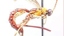 Die neue Wespenart besitzt einen besonders langen Stachel von etwa vier Millimetern Länge