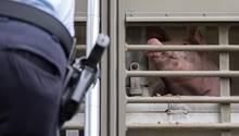nachrichten deutschland - schweine transport
