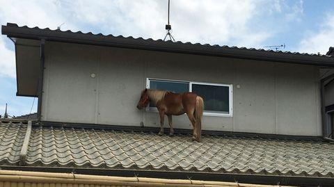 Die neunjährige Stute Leaf wurde nach drei Tagen von dem Dach in der Stadt Kurashiki gerettet