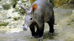 Elvis - das Erdferkel aus dem Frankfurter Zoo