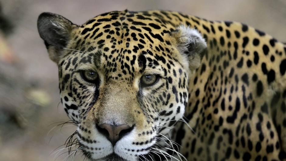 jaguar bricht aus zoogehege aus und tötet sechs tiere | stern.de