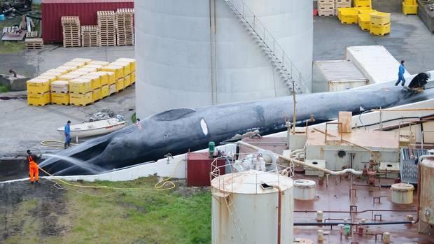 Island, Hvalfjördur: Ein toter Blauwal oder Blau-/Finnwal-Hybrid liegt in der Walfangstation und wird mit Wasser besprüht
